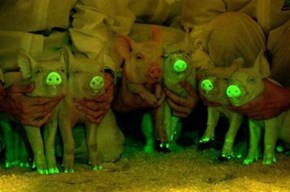 Rave Pigs! Pigs That Glow in the Dark