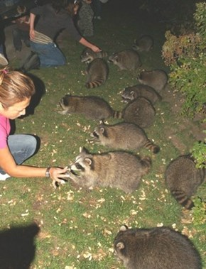 Feeding Raccoons in Montreal