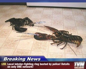 Breaking News - Local lobster-fighting ring busted by police! Details on only ONE network!