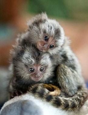 Twin Ecuador Marmosets