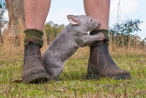 This Orphaned Wombat Loves His Keeper