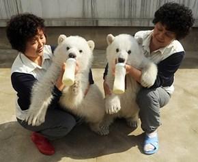 It's Feeding Time For These Cute Polar Bear Cubs