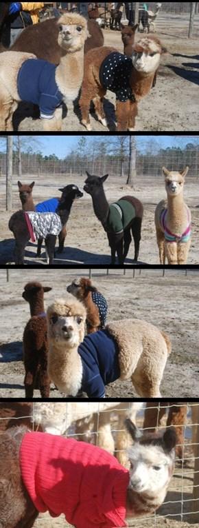 Llamas in Sweaters