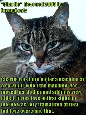 """Charlie""  Rescued 2003 by luvmy8catz  Charlie was born under a machine at a saw mill, when the machine was moved his Mother and siblings were killed. It was love at first sight for me. He was very tramatized at first but love overcame that."