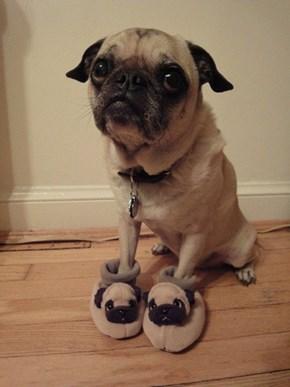 A Pug in Pugz!