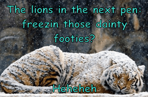 The lions in the next pen: freezin those dainty footies?  Heheheh