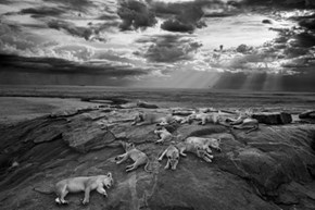 Photo of the Day: 2014 Photographer of the Year Michael Nichols and His Photo of Resting Lions With Their Cubs