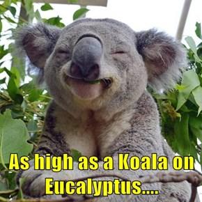 As high as a Koala on Eucalyptus....