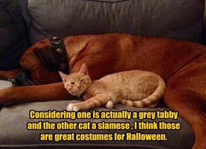 Considering one is actually a grey tabby  and the other cat a siamese , I think those are great costumes for Halloween.