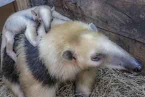 Meet Uruguay's First Zoo-Born Tamandua!