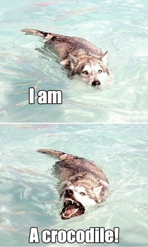Crocodile Husky is Evolving