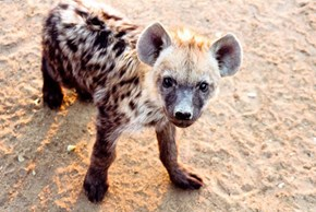 Oh Hello Baby Hyena