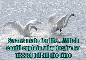 Swans mate for life...Which could explain why they're so pissed off all the time