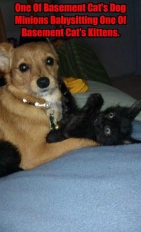 One Of Basement Cat's Dog Minions Babysitting One Of Basement Cat's Kittens.