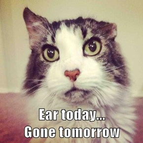Ear today...                                        Gone tomorrow