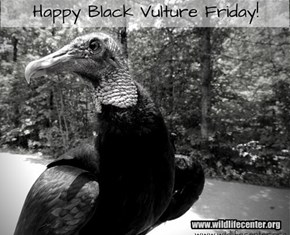 A Better Photo of Buttercup the Black Vulture than my Screen Capture