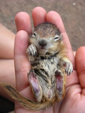 Here Let This Tiny Chipmunk Make You Squee