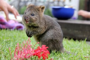 Meet Meeuk Mia, One of Three New Quokka Joeys at Taronga Zoo