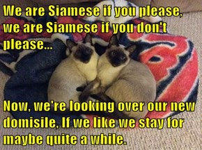 We are Siamese if you please, we are Siamese if you don't please...  Now, we're looking over our new domisile, If we like we stay for maybe quite a while.