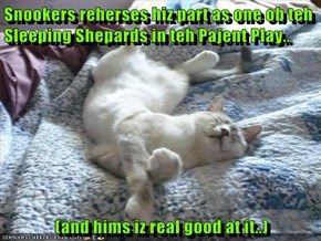 Snookers reherses hiz part as one ob teh Sleeping Shepards in teh Pajent Play..   (and hims iz real good at it..)