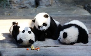 Three Squee For Pandas!