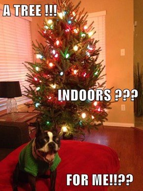A TREE !!!                    INDOORS ???                       FOR ME!!??
