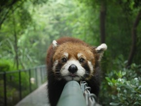This Adorable Red Panda is a Monorail