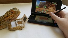 Pringle the Bearded Dragon Plays Pokémon
