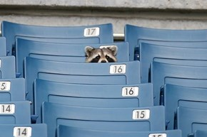 Sports Fan Raccoon is Ready for Football