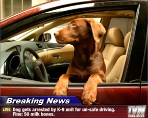 Breaking News - Dog gets arrested by K-9 unit for un-safe driving. Fine: 50 milk bones.