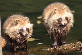 These Are Not Raccoons, They're Tanuki