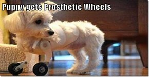 Puppy gets Prosthetic Wheels