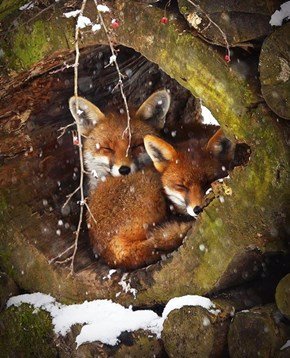Fox Den Snuggles