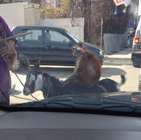 You'll Probably Never be as Cool as This Monkey Riding the Streets of Pakistan