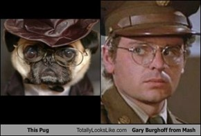 This Pug Totally Looks Like Gary Burghoff from Mash