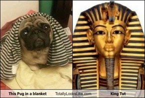 This Pug in a blanket Totally Looks Like King Tut