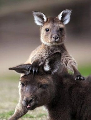 Kangaroo its you
