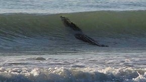 Of Course There's a Giant Crocodile Surfing on an Australian Beach, Because AUSTRALIA