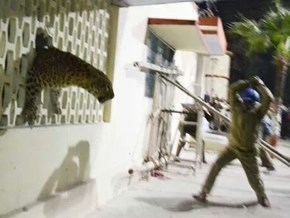 A Leopard Escaped From the Zoo in India to Take a Little Stroll, and Here's the Result
