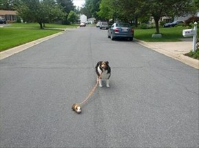 You Walk the Dog, the Dog Walks the Guinea Pig