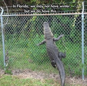 You Get Six Feet of Snow, We Get Six Feet of Alligator!