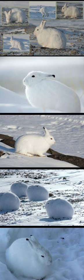 Puffy Bunnehs Are Puffy: The Arctic Hare