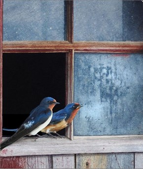 Waiting for Spring, Barn Swallows in Old Farm Window