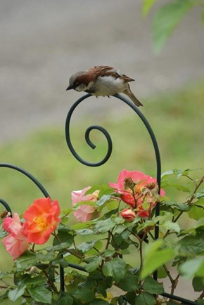 Mr.Sparrow Admiring the Springtime Roses