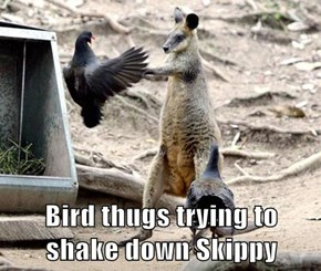 Bird thugs trying to shake down Skippy