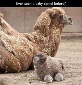 Two of the Fuzziest, Cutest Humps You've Ever Seen!