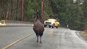 Meanwhile, in Nanaimo, BC (Lucy the Runaway Emu)