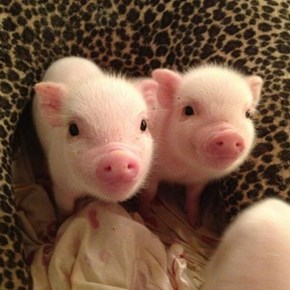 Pink Little Oinkers!