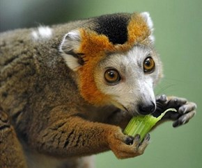 The Crowned Lemur is Squee Royalty