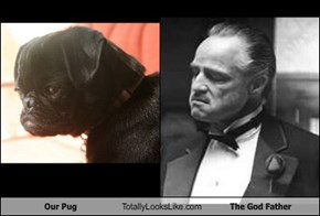 Our Pug Totally Looks Like The God Father